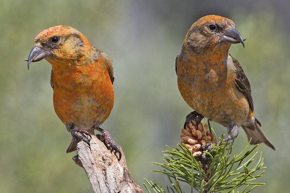 Zdjęcie przedstawia ptaka siedzącego na gałęzi drzewa iglastego. Wcentralnej części zdjęcia przedstawiona jest zielona gałąź oraz duża szyszka. Ptak siedzi na gałęzi za szyszką. Jest to krzyżodziób świerkowy. Specjalny silny dziób służy do wyjadania nasion zszyszki. Połówki dzioba, górna idolna, są zakrzywione ikrzyżują się ze sobą. Taka budowa dzioba służy ptakowi do podważania zdrewniałych łusek szyszek iwydobywania spod nich nasion. Pióra krzyżodzioba mają kolor pomarańczowy. Skrzydła są ciemnobrązowe.