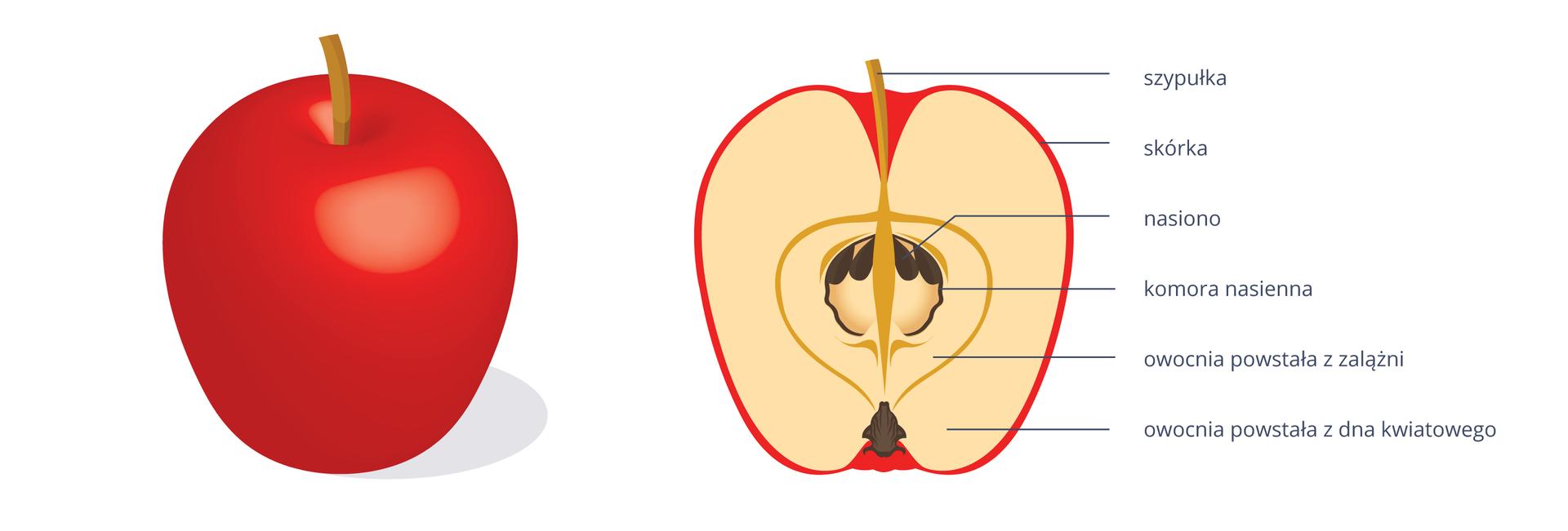 Ilustracja przedstawia rysunek dwóch jabłek: czerwonego, całego, iprzekrojonego wzdłuż. Części jabłka na przekroju są odpowiednio podpisane.