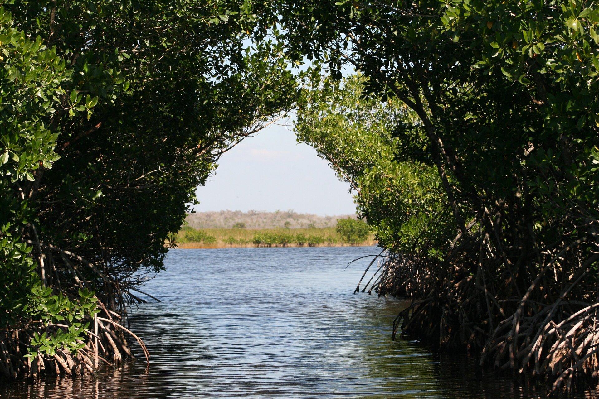 Fotografia prezentuje las namorzynowy biegnący wzdłuż obu brzegów pasa wody. Udołu widoczne są wystające korzenie roślin zanurzające się wwodzie. Gęsto rosnące drzewa stykają się ze sobą ugóry. Pnie drzew są krzywe iopierają się na cienkich korzeniach.