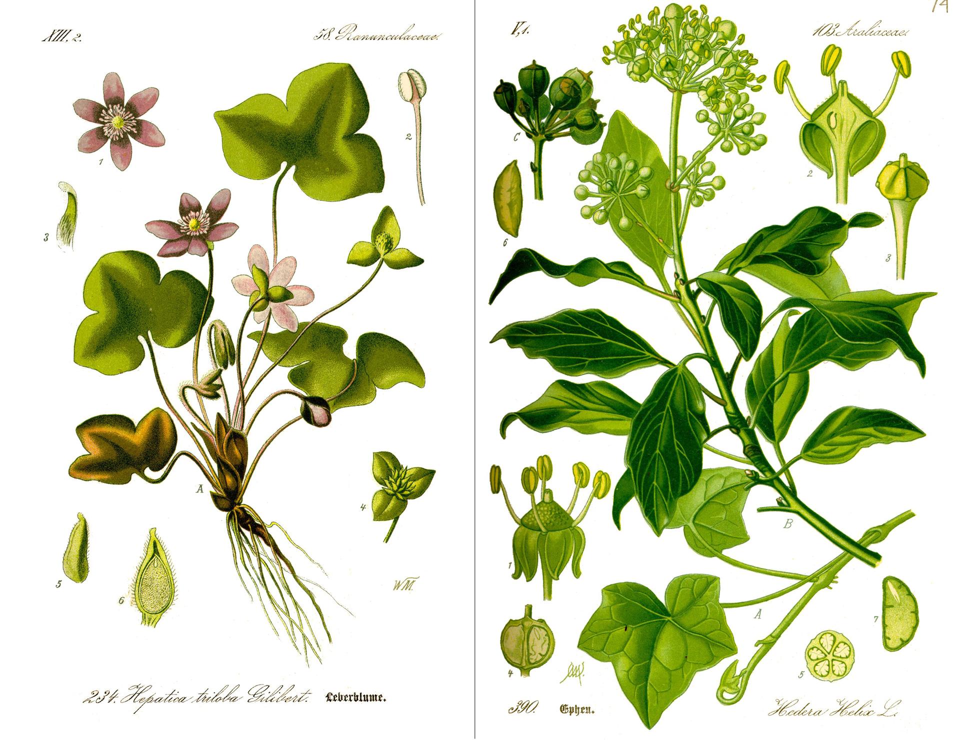 Ilustracja przedstawia dwie strony atlasu roślin. Rysunki watlasie ukazują rośliny zdokładnym odwzorowaniem kształtu ich liści, korzeni ikwiatów. Niektóre elementy budowy roślin zostały narysowane wpowiększeniu.