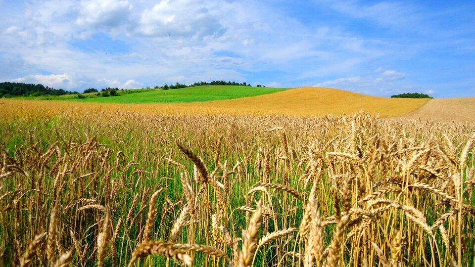 Na zdjęciu pole pszenicy, widoczne kłosy.