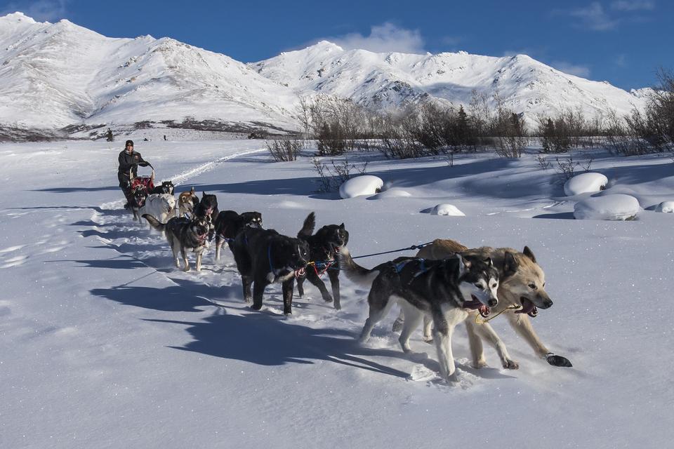Fotografia przedstawia psi zaprzęg wzimowym pejzażu. Pięć par psów oróżnym umaszczeniu ciągnie czerwonawe sanie, na których ztyłu stoi grubo ubrany człowiek wczapce. Wtle ośnieżone góry.