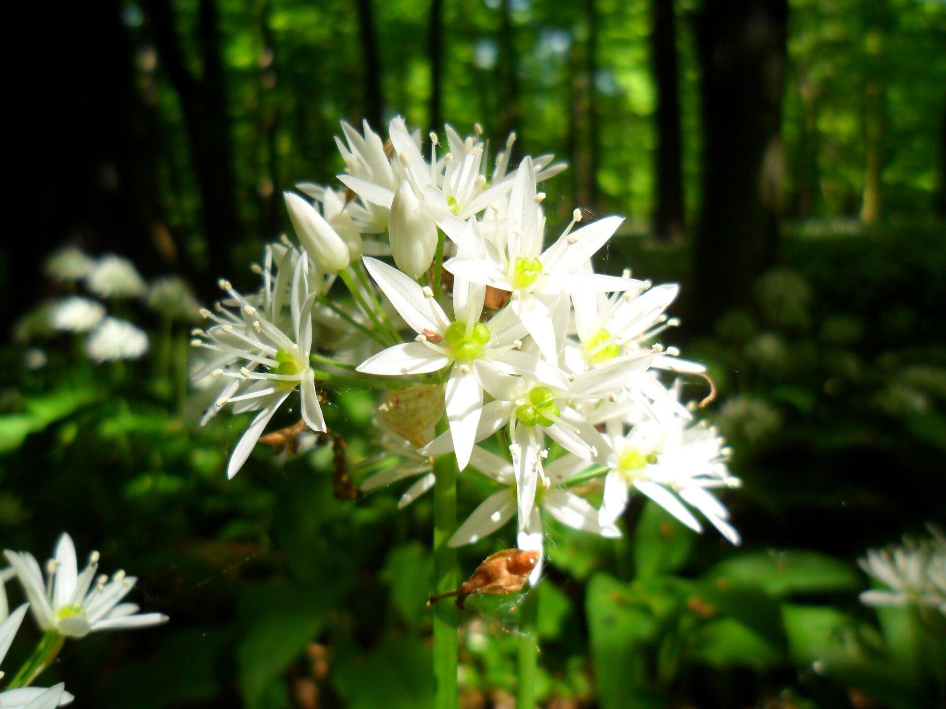 Fotografia przedstawia wzbliżeniu kwiatostan czosnku niedźwiedziego. Białe, gwiaździste kwiaty mają zielone środki.