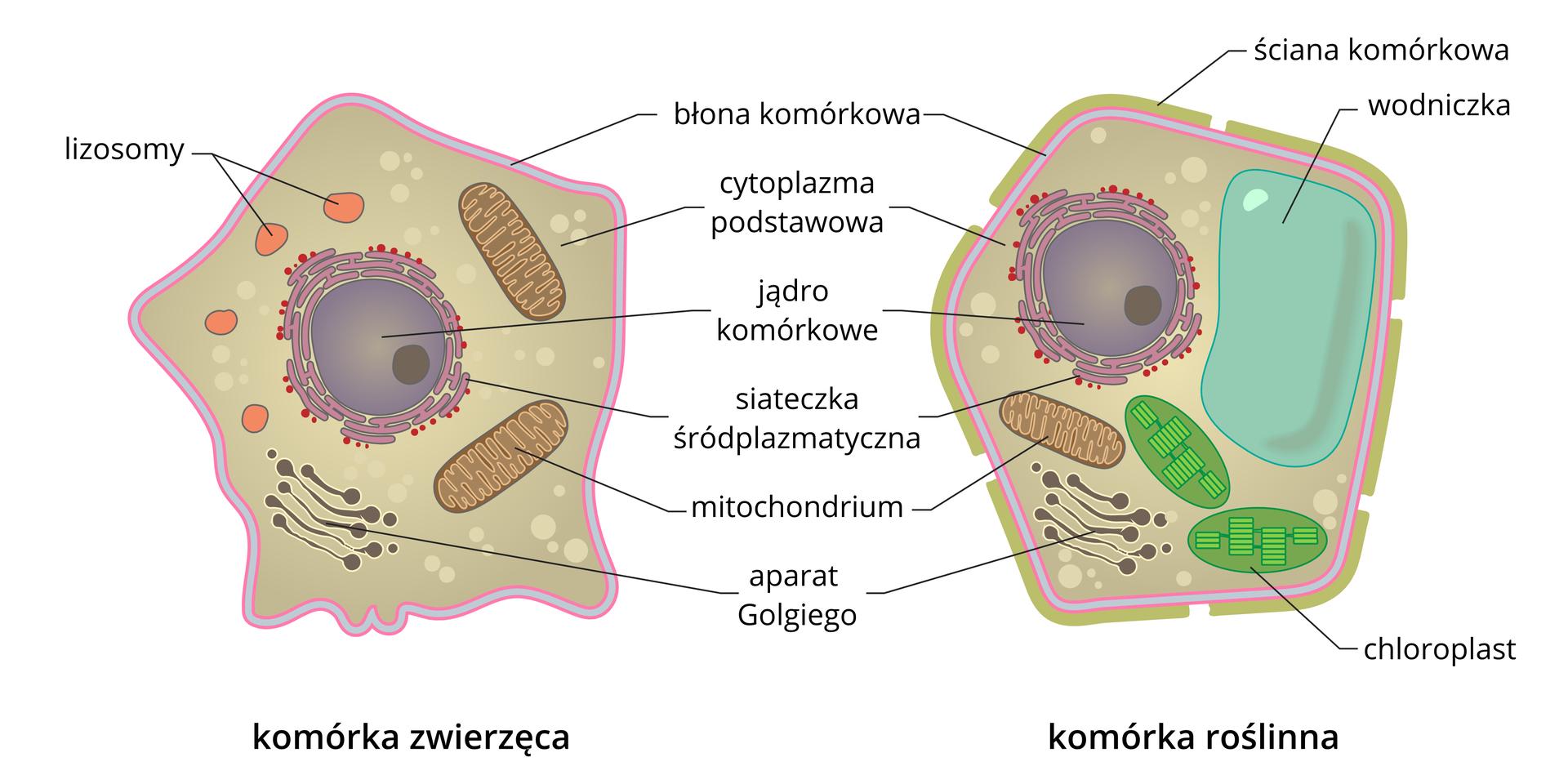 Ilustracja przedstawia porównanie budowy komórki roślinnej izwierzącej. Wkomórkach są wrysowane ipodpisane organella komórkowe.