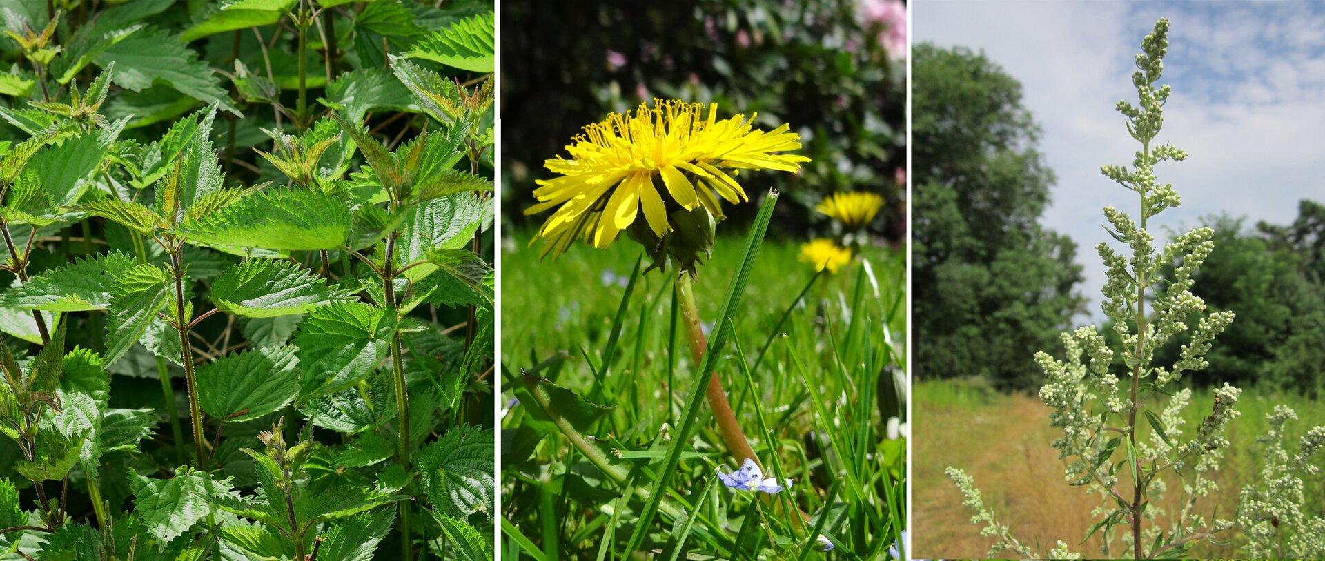 trzeci kadr galerii Ilustracja składa się ztrzech zdjęć przedstawiających trzy różne rodzaje roślin wskaźnikowych. Po lewej stronie gęste zielone krzaki pokrzyw, pośrodku zbliżenie kwiatu mniszka, czyli mlecza, apo prawej jasnozielony krzew bylicy na tle łąki pod lasem iniebieskiego nieba.