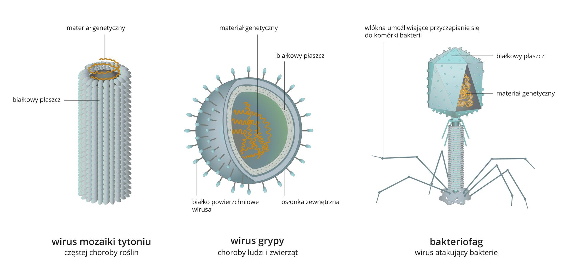 Ilustracja trzecia składa się ztrzech schematów przedstawiających budowę trzech wybranych wirusów. Pierwszy wirus po lewej stronie, to wirus mozaiki tytoniu. Wirus tworzy struktura wformie walca, utworzona przez małe, gęsto przylegające do siebie elementy przypominające ziarna na kolbie kukurydzy. Jest to płaszcz białkowy. Wewnątrz spłaszcza znajduje się skręcony spiralnie wąski pasek. Jest to materiał genetyczny. Poniżej informacja: wirus mozaiki tytoniu częstej choroby roślin.Drugi schemat po środku ilustracji to wirus grypy, który ma kształt kuli. Zewnętrzną warstwę kuli tworzą dwie przylegające warstwy. Zewnętrzna to osłonka zewnętrzna. Na powierzchni osłonki rozmieszczone są krótkie wypustki zmałymi owalnymi zakończeniami. Są to białka powierzchniowe wirusa. Druga przylegająca do niej warstwa, to białkowy płaszcz. Wnętrze kuli wypełnia spieralnie skręcony materiał genetyczny. Spiralne żółte linie nakładają się jedna na drugą. Poniżej informacja: wirus grypy, choroby ludzi izwierząt.Trzeci schemat przedstawia wirusa – bakteriofaga. Bakteriofag to struktura składająca się zkrótkiej rurki, która jest oparta na sześciu bardzo cienkich odnogach. Rurka wgórnej części zakończona jest elementem wkształcie wielościanu. Jego zewnętrzna powierzchni pokryta jest zaokrąglonymi wypustkami. Wirus oparty jest na sześciu wypustkach. Są to włókna umożliwiające przyczepienie się do komórki bakterii. Górna część bakteriofaga to płaszcz białkowy. Wewnątrz znajduje się materiał genetyczny wkształcie skręconej spiralnie żółtej linii. Poniżej informacja: bakteriofag wirus atakujący bakterie.