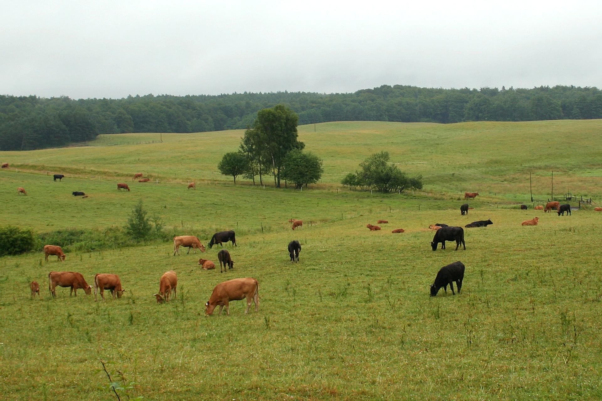Fotografia przedstawiając pastwisko zpasącymi się krowami.