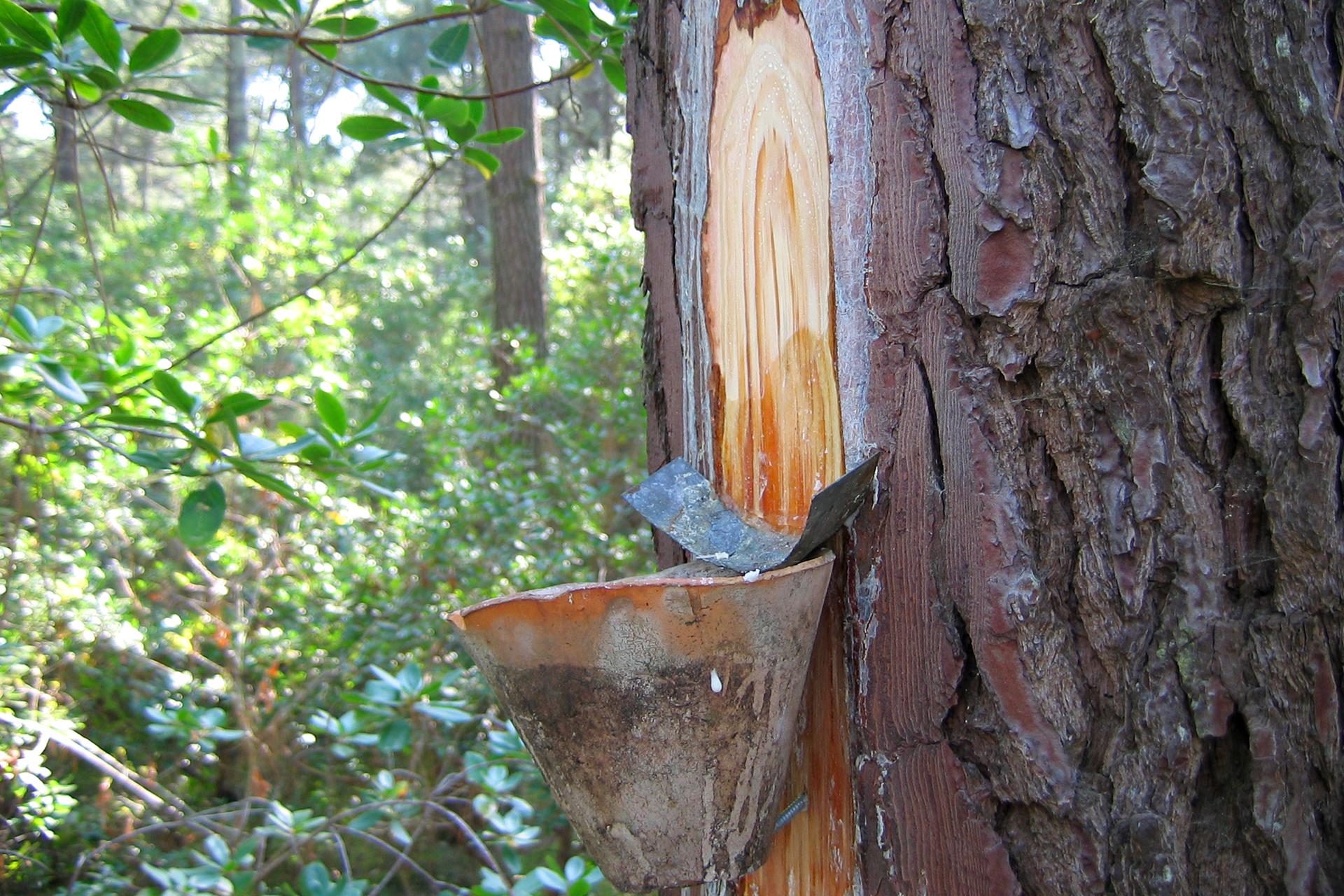 Fotografia przedstawia nacięty wzdłuż pień drzewa iglastego, znajdujący się wlesie. Pod nacięciem znajduje się stożkowaty pojemnik. Nad nim umocowano wygiętą blaszkę do zbierania ściekających znacięcia kropli żywicy.
