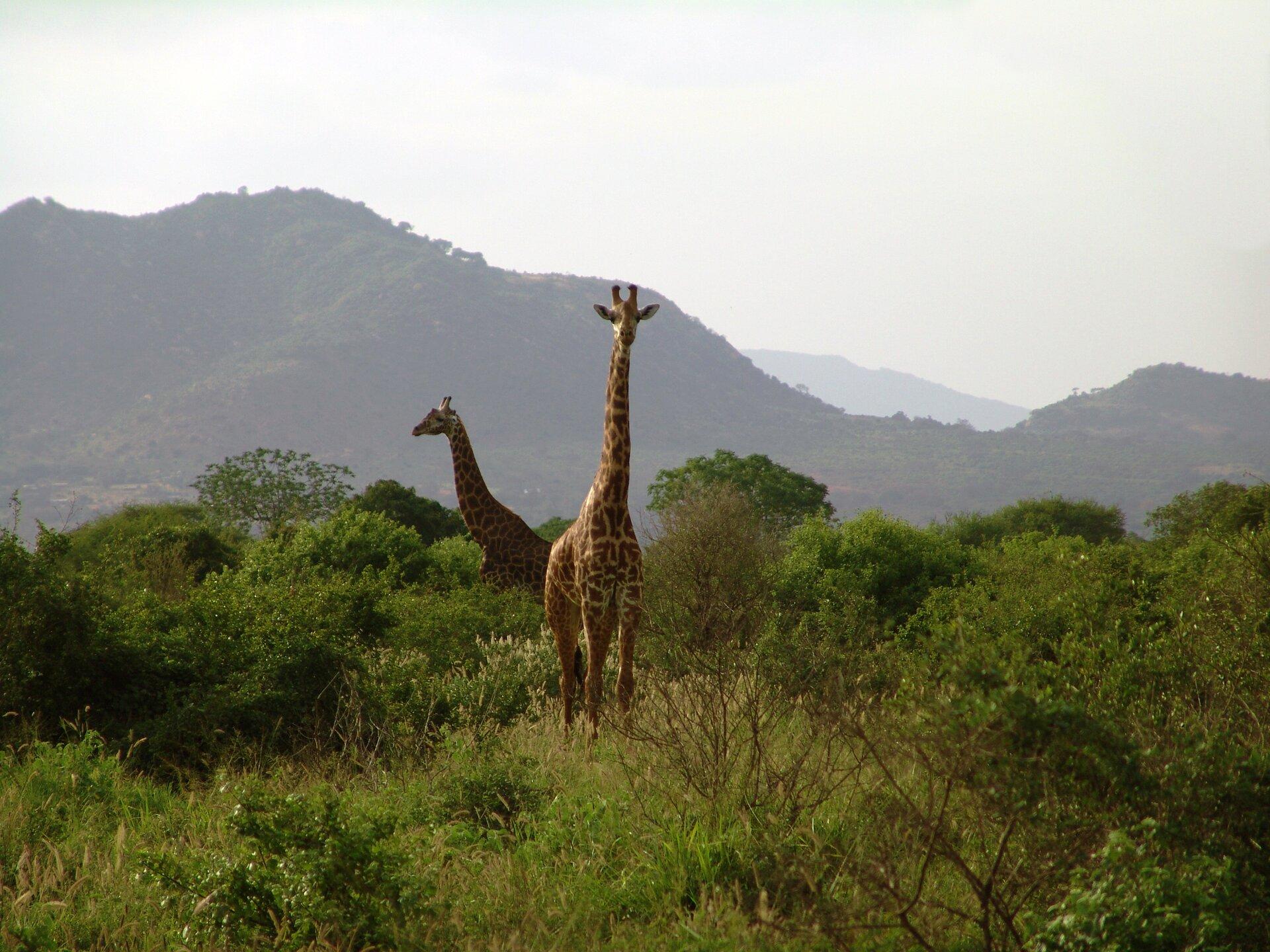 Fotografia przedstawia dwie żyrafy. Jedna stoi przodem, druga bokiem wlewo. Ich ciało na wysokich nogach wznosi się ponad zaroślami . Na bardzo długiej szyi znajduje się mała głowa zwielkimi oczami, uszami na boki ikrótkimi, sterczącymi do góry rożkami. Wtle góry.