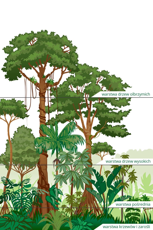 Ilustracja przedstawia las deszczowy wpodziale na warstwy. Od góry są to olbrzymie drzewa ogrubych, brązowych pniach. Zich gałęzi zwisają liany, pnącza są także na korze drzew. Niżej jest warstwa drzew wysokich ocienkich pniach. Pod nimi znajdują się rośliny warstwy pośredniej. Najniżej jest gęsta warstwa krzewów izarośli.