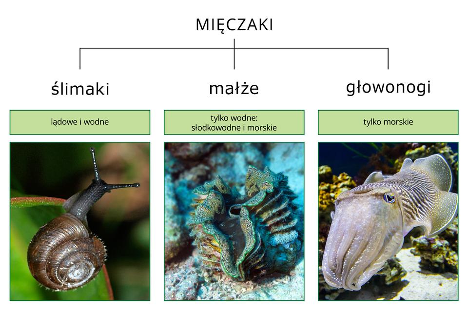 Ilustracja przedstawia schematycznie podział mięczaków na trzy gromady. Są one opisane iopatrzone fotografiami przedstawicieli. Od lewej czarny ślimak zbrązową muszlą. Wśrodku otwarta, falbaniasta, turkusowa muszla małża. Zprawej szary wpaski icętki głowonóg.
