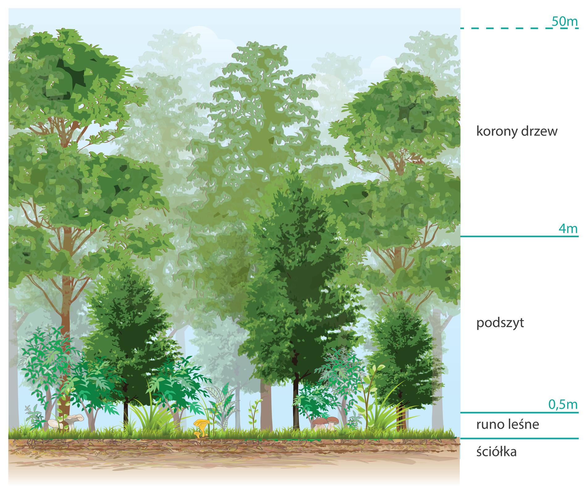 Ilustracja przedstawia pietrową strukturę lasu. zaznaczono na nich warstwy takie jak ściółka, runo leśne, podszyt, korony drzew.