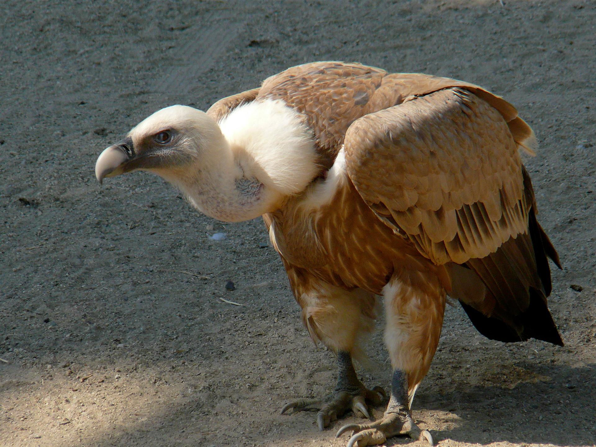 Fotografia przedstawia dużego, brązowego ptaka, stojącego na ziemi. Ma jasną, wygiętą szyję imasywny, szary dziób. Głowę ma skierowaną wlewo. To sęp płowy.