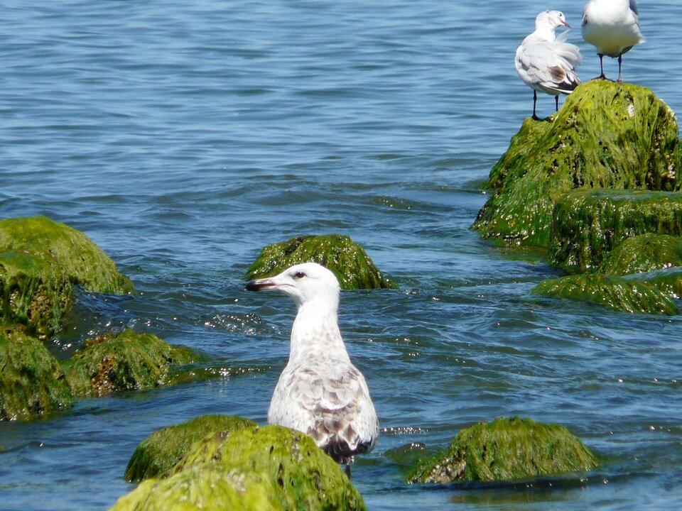 Eutrofizację uważa się za jedno znajpoważniejszych zagrożeń ekosystemów morskich. Latem na Bałtyku można obserwować rozległe zakwity glonów. Są to typowe przejawy zaawansowanej eutrofizacji.Główną przyczyną tego zjawiska jest fosfor – pierwiastek biogenny, który dostaje się do morza wraz ze ściekami bytowo-gospodarczymi oraz zrzutami zoczyszczalni ścieków