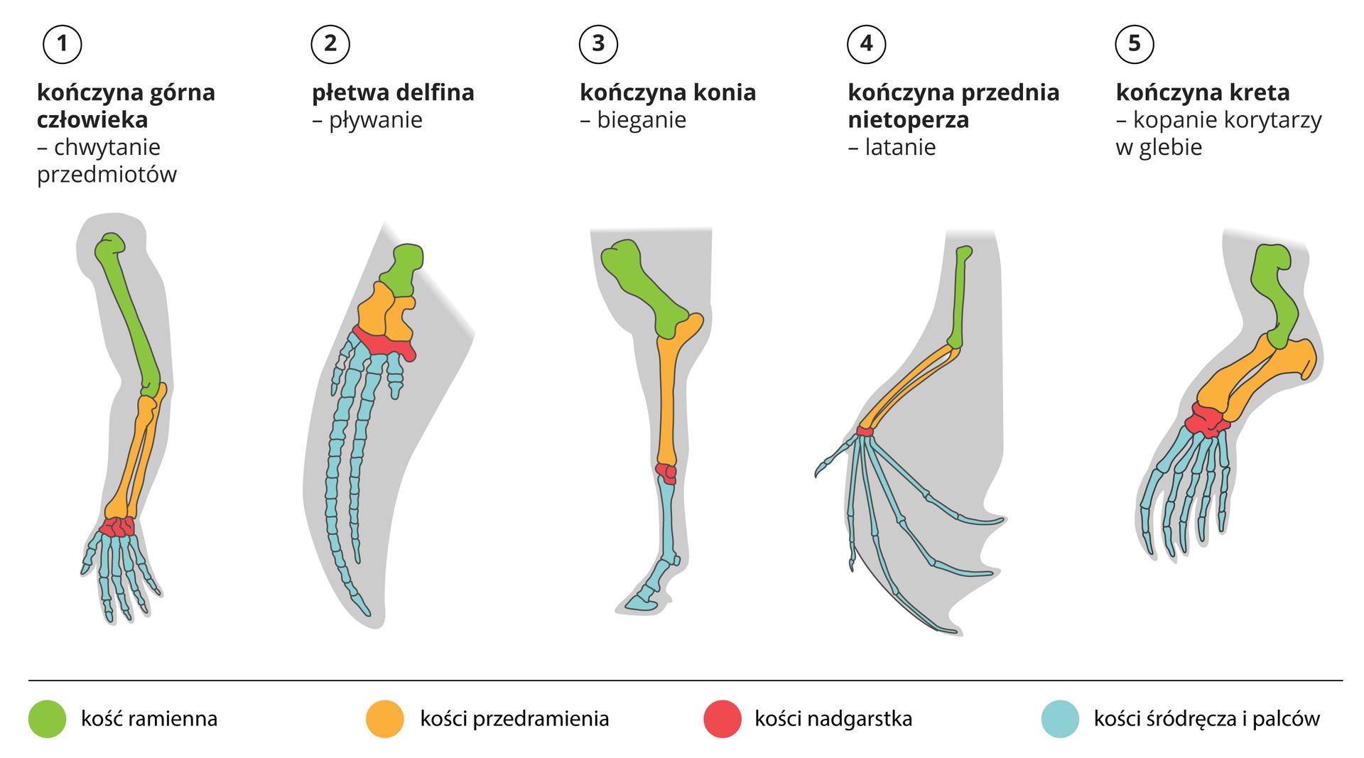 Ilustracja przedstawia schematyczne rysunki narządów owspólnym pochodzeniu, pełniących różne funkcje. Są to kończyny przednie, przedstawione jako szare sylwetki. Wnich znajdują się kości wróżnych kolorach. Kość ramienna jest zielona, kości przedramienia żółte, kości nadgarstka czerwone akości śródręcza ipalców niebieskie. Uczłowieka ręka służy do chwytania przedmiotów; udelina płetwa do pływania; ukonia do biegania. Kończyna przednia nietoperza służy do latania, akreta – do kopania.