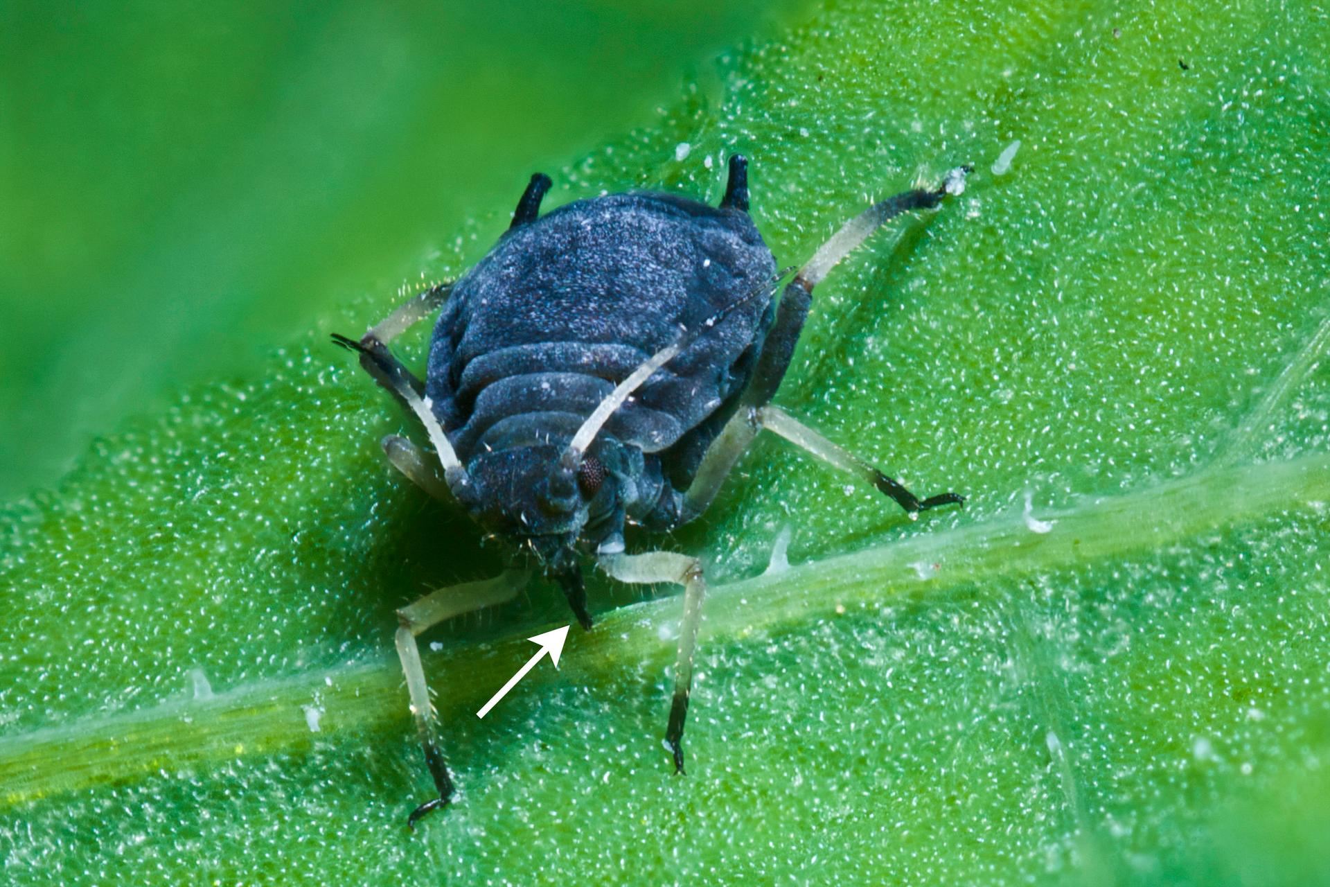 Ilustracja przedstawia liść rośliny, na którym siedzi mszyca oglądana zprzodu. Kłujka mszycy wbita jest wliść.