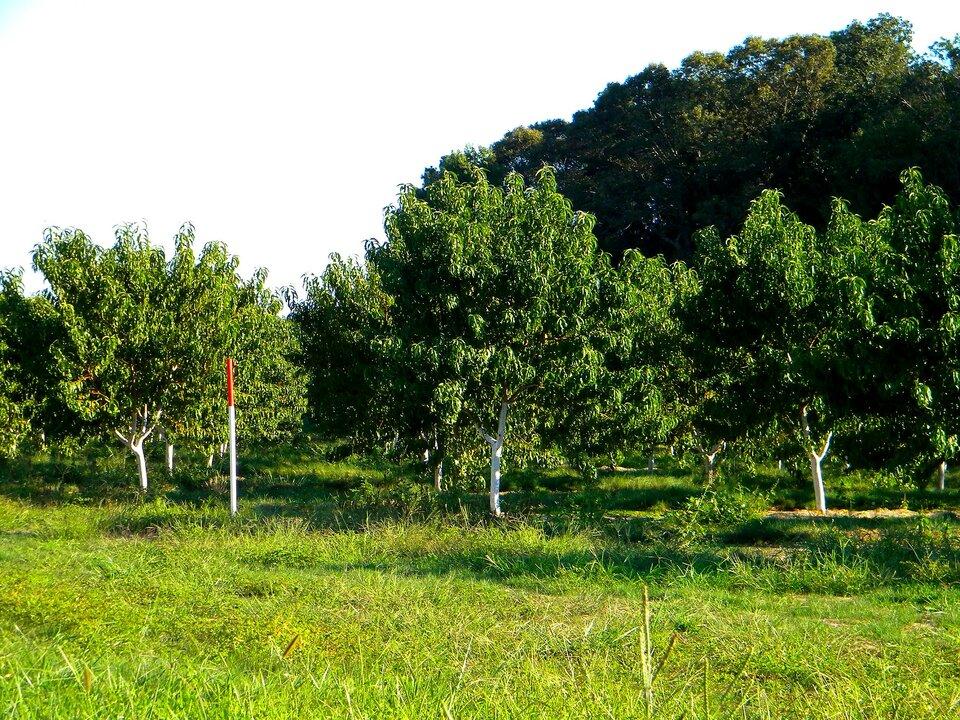 Zdjęcie ilustruje proces bielenia drzewek. Wcentrum zdjęcia znajduje się pień małego drzewka ikilka gałęzi. Całe drzewko jest pomalowane na biało. Po prawej stronie dłoń wrękawiczce trzymająca pędzel. Pędzel jest przyłożony do pnia drzewka. Wtle brązowa ziemia bez trawy.