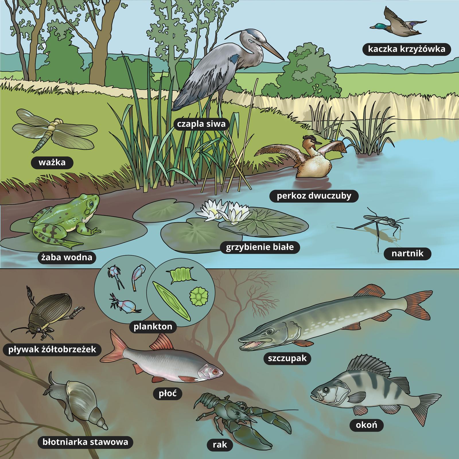 Ilustracja przedstawia organizmy żyjące nad ipod powierzchnią wody wjesiorze. Są to czapla, kaczeńce, grzybienie, pływak żółtobrzeżek, szczupak, płoć, perkoz, plankton, okoń.