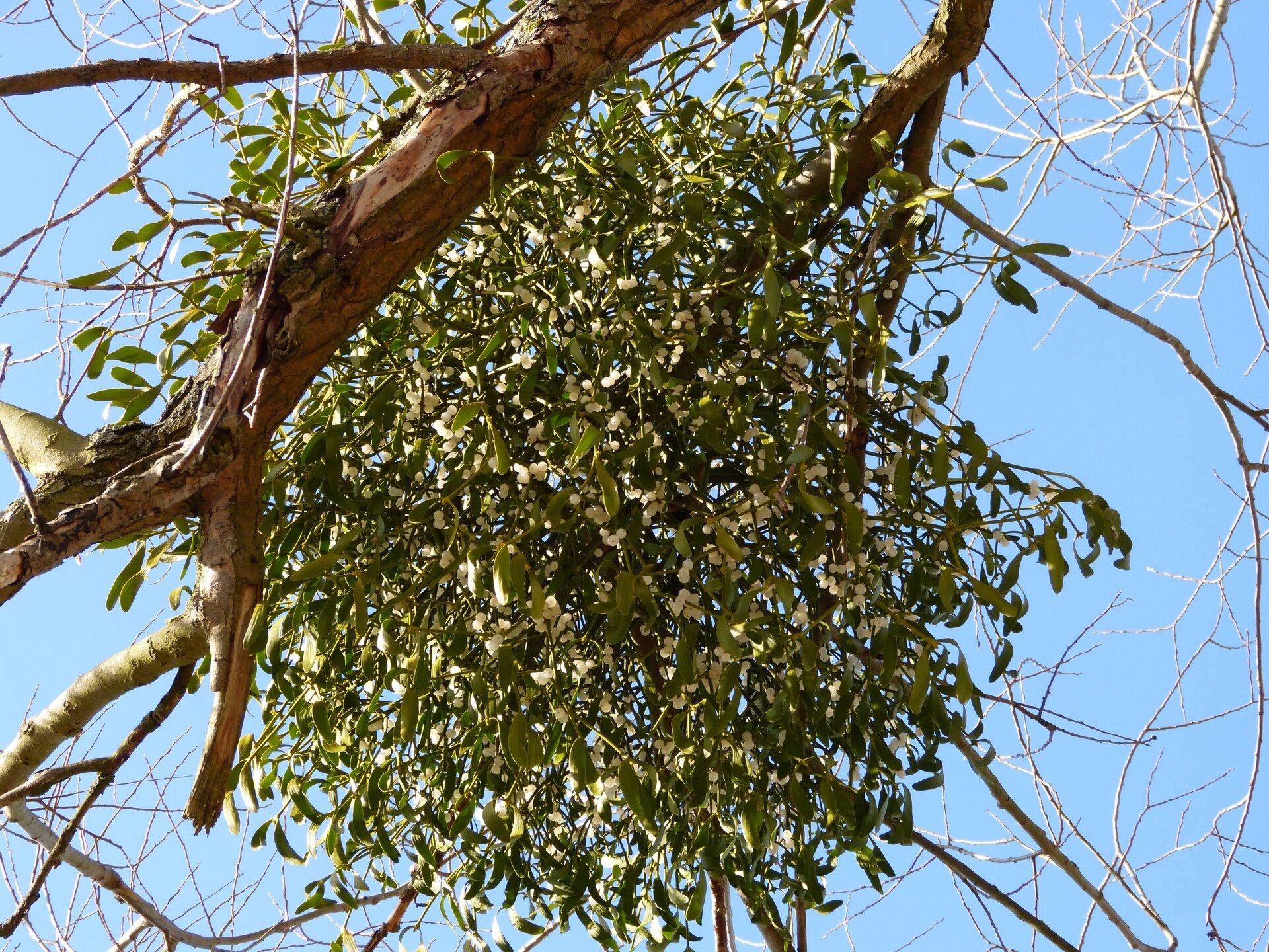 Fotografia przedstawia jasnozielonej jemioły na bezlistnym drzewie. Jemioła jest duża, przyczepiona do gałęzi. Ma liczne, wąskie liście. Pędy jemioły są rozgałęzione igęste, przez co cała roślina ma kulisty kształt.