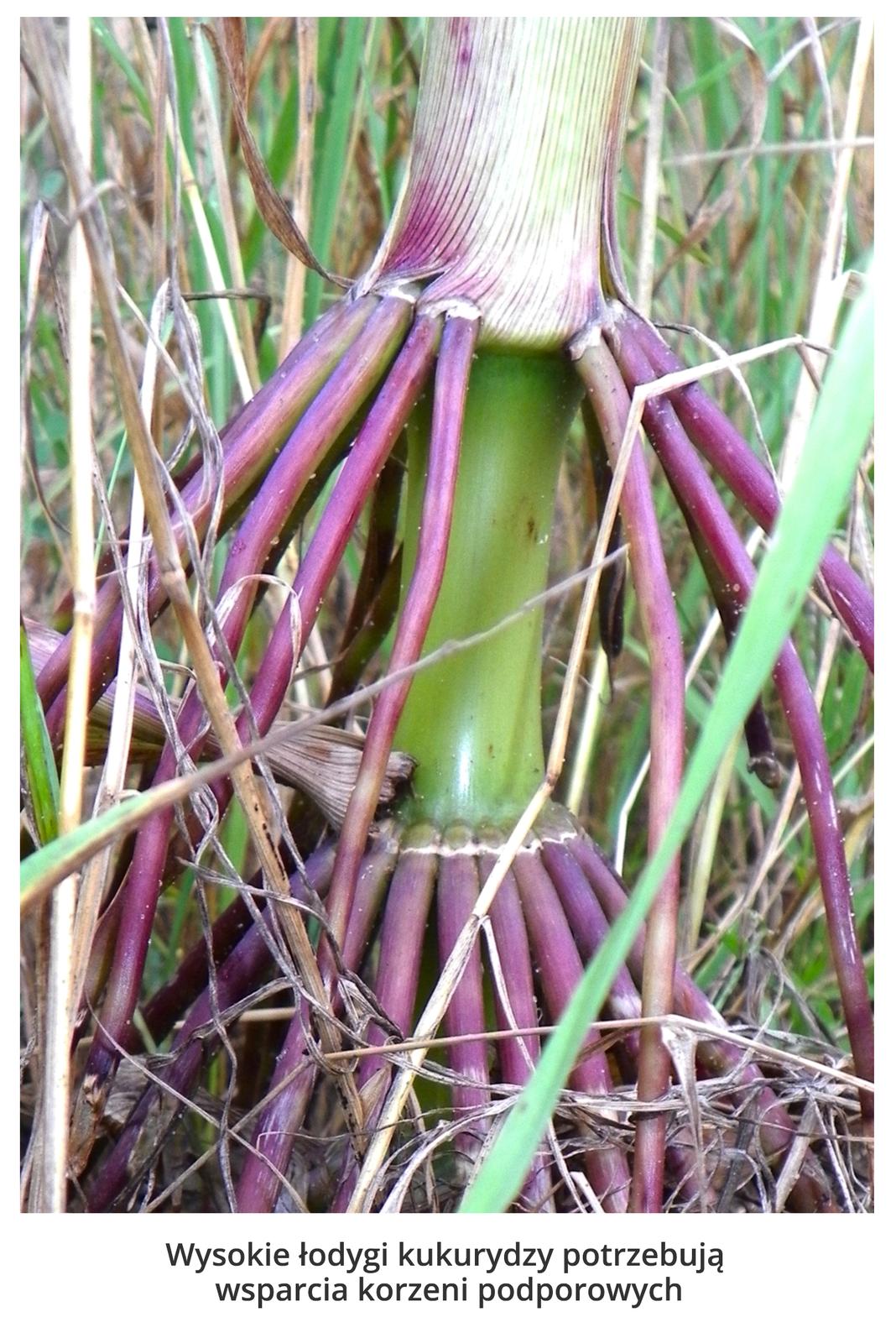 Fotografia przedstawia zbliżenie łodygi kukurydzy, zktórej zwisają fioletowe korzenie. Służą one wysokiej roślinie jako podpora.