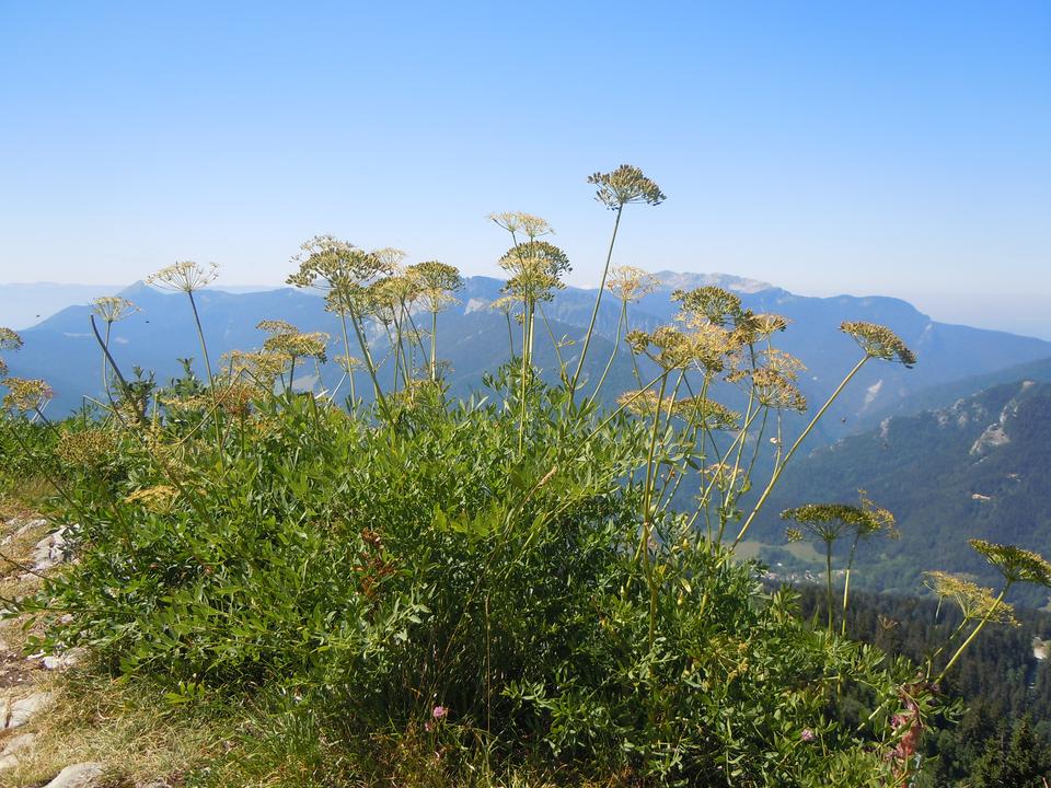 Fotografia przedstawia kępę roślin ogęstych liściach ikwiatostanach baldachach. To okrzyn jeleni. Wtle górski krajobraz.