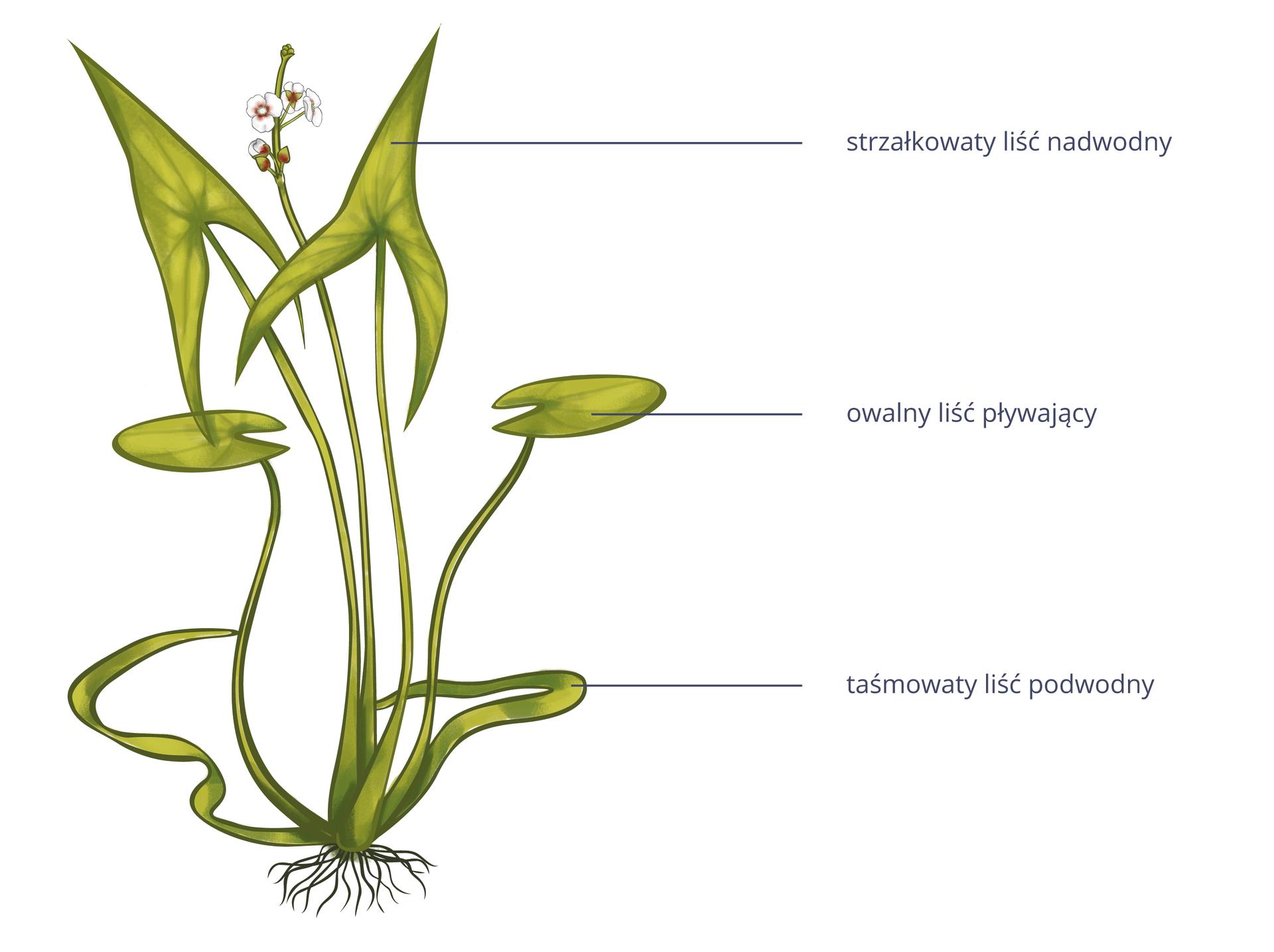 Ilustracja przedstawia zieloną , biało kwitnącą strzałkę wodną. Ma liście o3 różnych kształtach. Nadwodny jest strzałkowaty, pływający jest owalny apodwodny jest taśmowaty. To przykład zmienności niedziedzicznej.