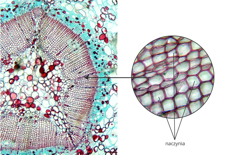 Fotografia mikroskopowa przestawia wiele bryłek wróżnych kolorach. To przekrój przez zdrewniała gałązkę. Powiększenie obok wskazuje naczynia, wielokątne komórki oliliowych ścianach.