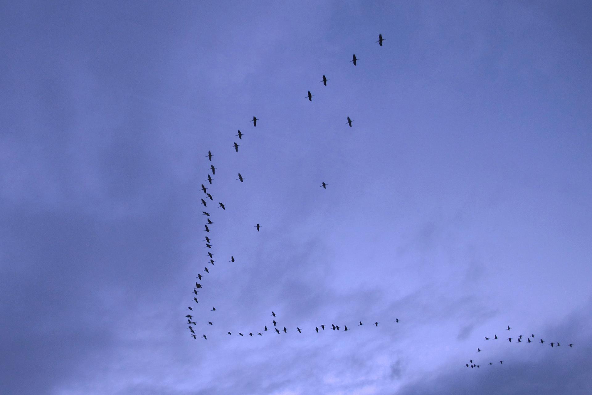 Zdjęcie ptaków lecących wkluczu wdalszej perspektywie.