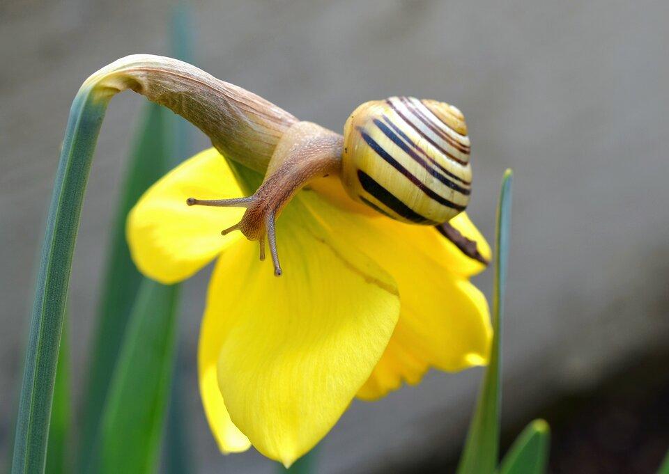 Fotografia przedstawia ślimaka wstężyka ogrodowego na kielichu żółtego żonkila. Ślimak zwysuniętymi czułkami pełznie wlewo wdół, kwiat zwieszony pod jego ciężarem ukosem wprawo.