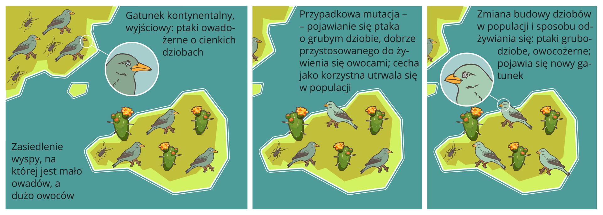 Gatunek kontynentalny, wyjściowy: ptaki owadożerne ocienkich dziobach. Zasiedlenie wyspy, na której jest mało owadów, adużo owoców. Przypadkowa mutacja – pojawianie się ptaka ogrubym dziobie, dobrze przystosowanego do żywienia się owocami; cecha jako korzystna utrwala się wpopulacji. Zmiana budowy dziobów wpopulacji isposobu odżywiania się: ptaki grubodziobe , owocożerne; pojawia się nowy gatunek.
