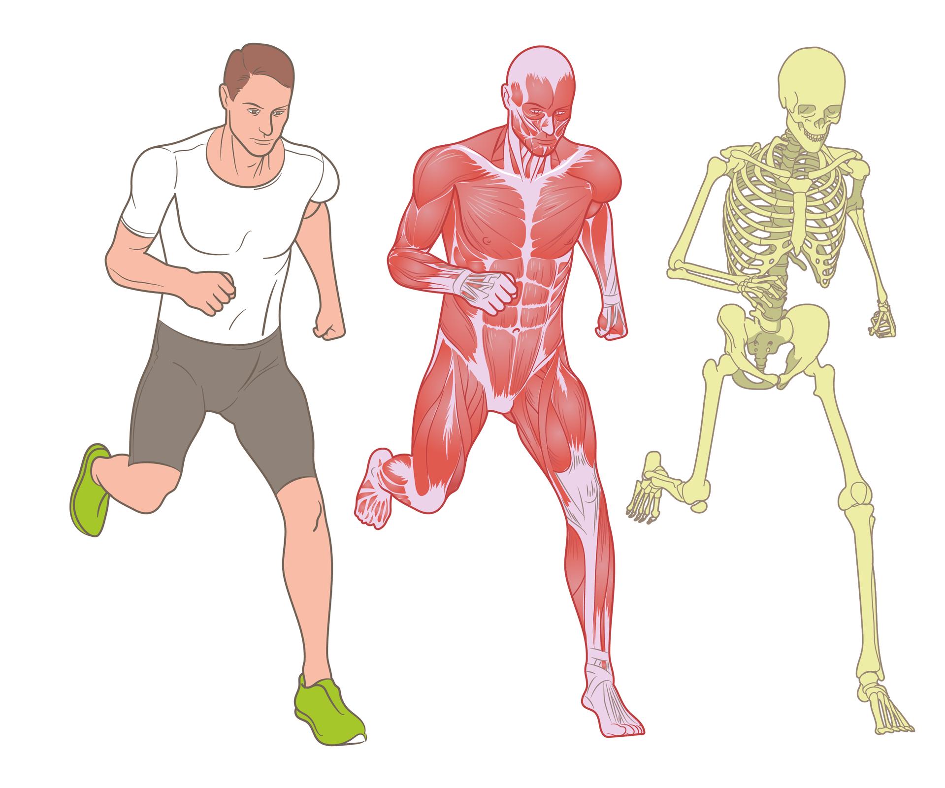 Ilustracja przedstawia trzy sylwetki człowieka. Pierwsza zlewej to biegnący sportowiec. Ubrany wbiałą koszulkę, szare spodenki izielone buty. Wśrodku ta sama sylwetka biegacza, ale czerwona, pozbawiona skóry. Wten sposób przedstawiono jeden zelementów układu ruchu – mięśnie. Ostatnia sylwetka to żółtawy szkielet.