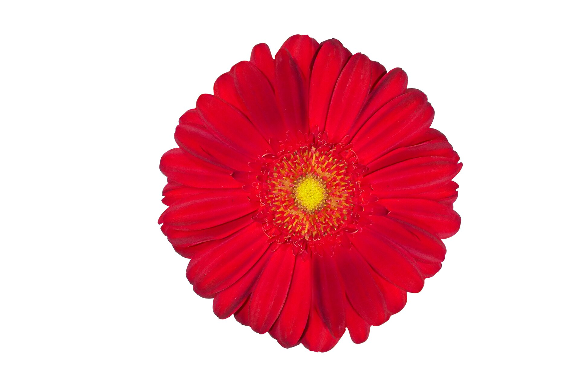 Rysunek kwiatka zparzystą liczbą płatków (gerber).