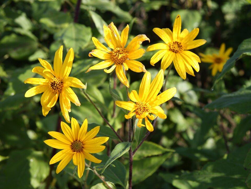 Fotografia przedstawia pięć jaskrawo żółtych kwiatów topinamburu na cienkich łodyżkach.