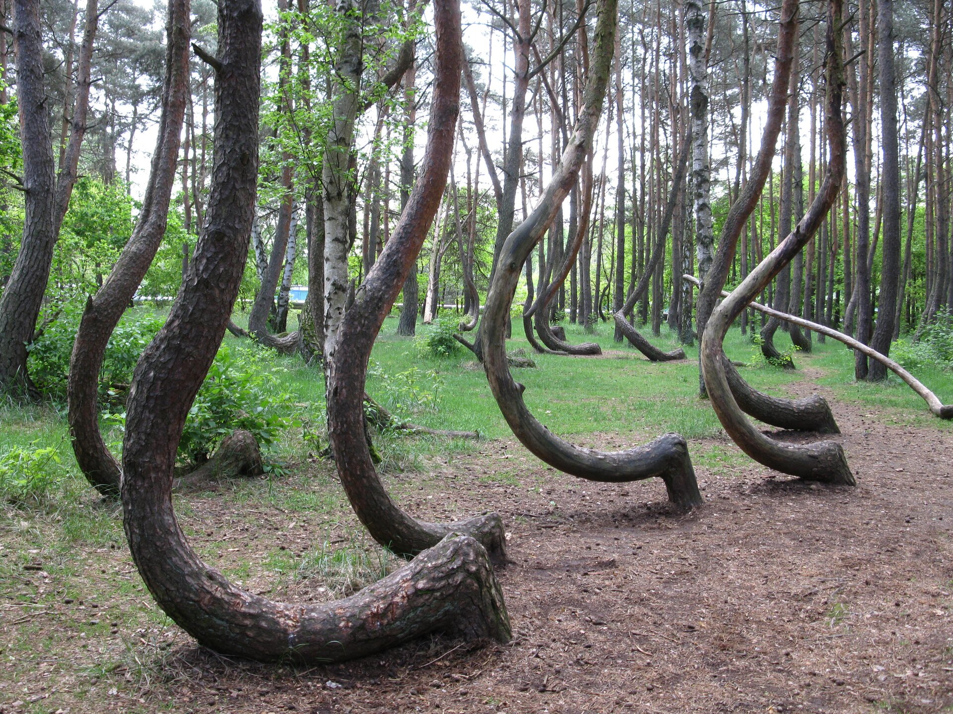 Fotografia przedstawia nietypowo, hakowato wygięte pnie sosen zwyczajnych. Za nimi las mieszany zdrzewami oprostych pniach. To pomnik przyrody Krzywy Las.