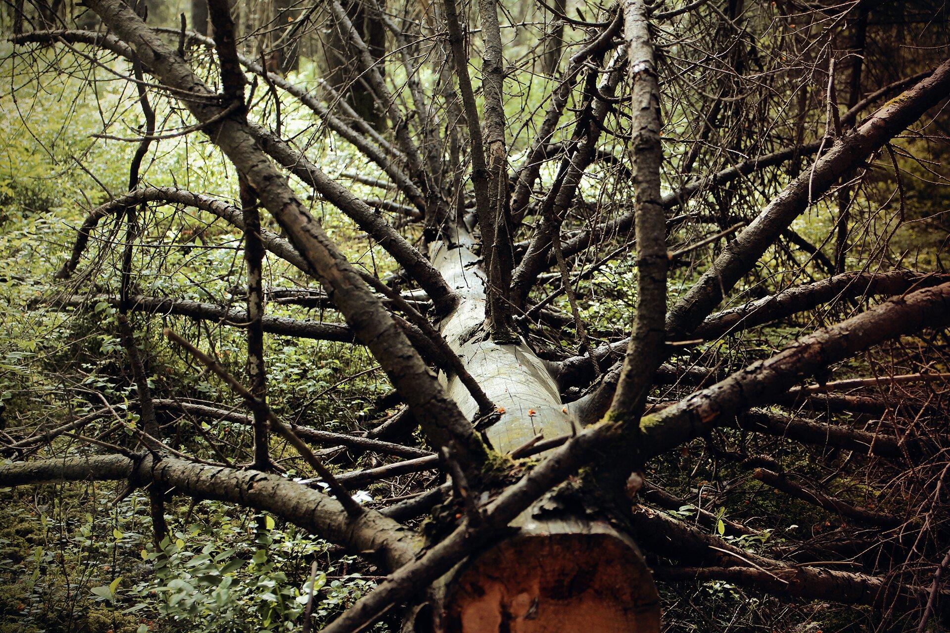 połamane drzewo Źródło: Pixabay, domena publiczna.