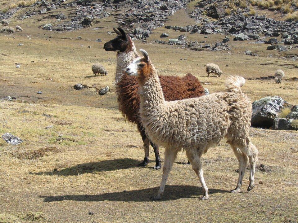 Na zdjęciu dwie lamy, jasnobeżowa iciemniejsza ruda. Stoją na terenie porośniętym wypaloną słońcem trawą, wtle pasą się trzy owce. Dalej teren pokryty skałami.
