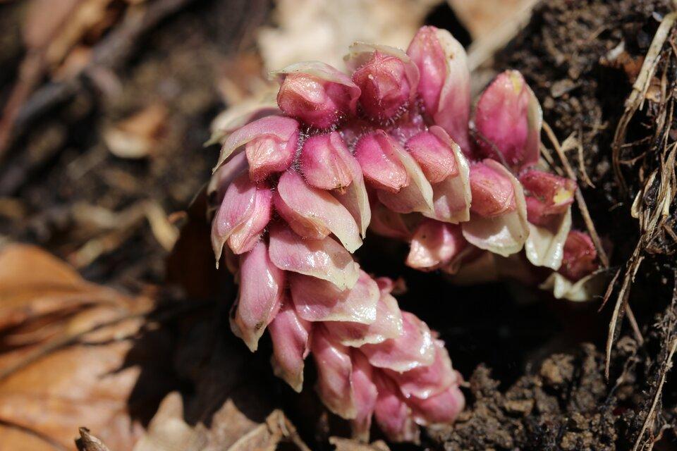 Fotografia przedstawia roślinę ołukowatym kształcie, złożoną zgrubych różowych łusek. To łuskiewnik różowy, który za pomocą ssawek pasożytuje na korzeniach drzew. Wysysa zroślin substancje organiczne iwodę zsolami mineralnymi.