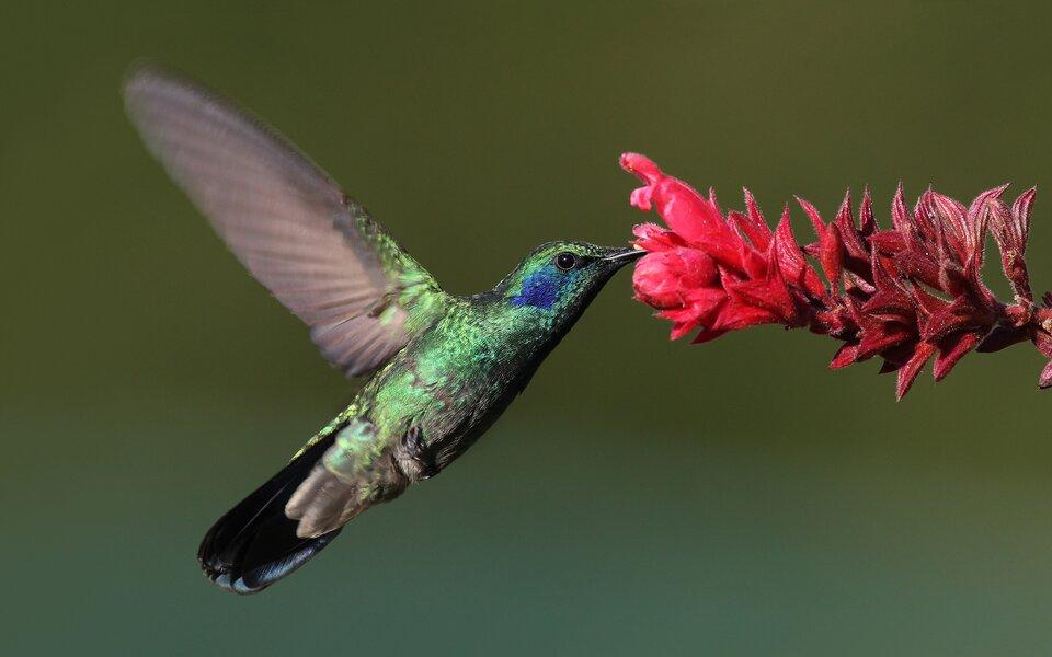 Fotografia przedstawia zbliżenie ukosem kolibra wlocie. Głowa itułów mienią się zielono – niebiesko. Ma uniesione, różowawe skrzydła. Nogi przyciśnięte do tułowia, ogon czarno błyszczący. Dziób kolibra zanurzony jest wkielichu czerwono – bordowego kwiatu.