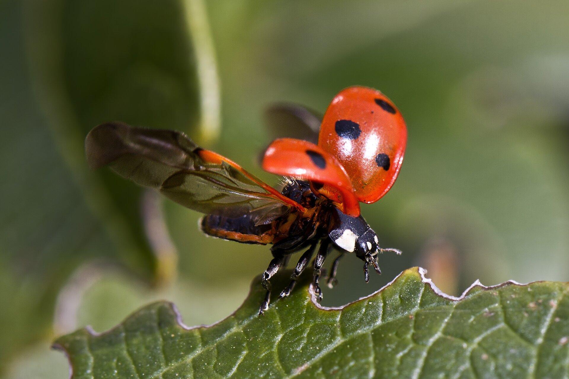 Fotografia biedronki zrywającej się do lotu. Zwierzę jest skierowane wprawą stronę zdjęcia, siedzi na krawędzi liścia. Ciało jest czarne, zbiałymi plamami wprzedniej części. Skrzydła są rozpostarte. Przednie skrzydła są twarde imają kształt ćwierci kuli. Są czerwone wdużymi czarnymi plamami. Tylne skrzydła są przezroczyste idwukrotnie dłuższe od przednich.
