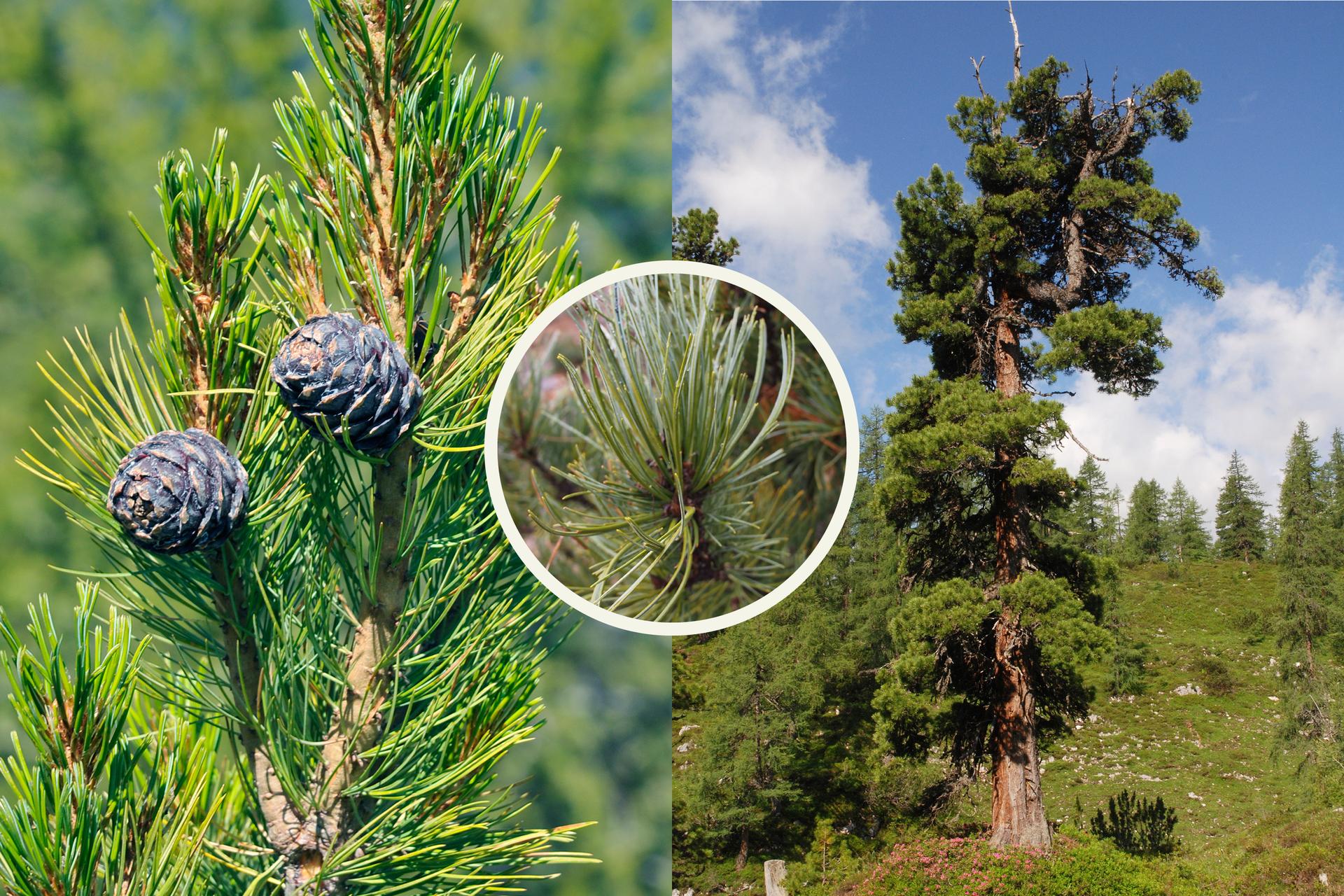 Fotografia zlewej przedstawia wzniesioną gałąź sosny limby zdługimi igłami po dwie wpęczku. Zgałęzi wyrastają dwie małe, okrągłe fioletowe szyszki. Kółko wcentrum przedstawia zbliżenie pędu limby: brązowa gałązka zpęczkami zielonych liści. Po prawej fotografia przedstawia duże drzewo wgórskim krajobrazie. Wdali inne drzewa.