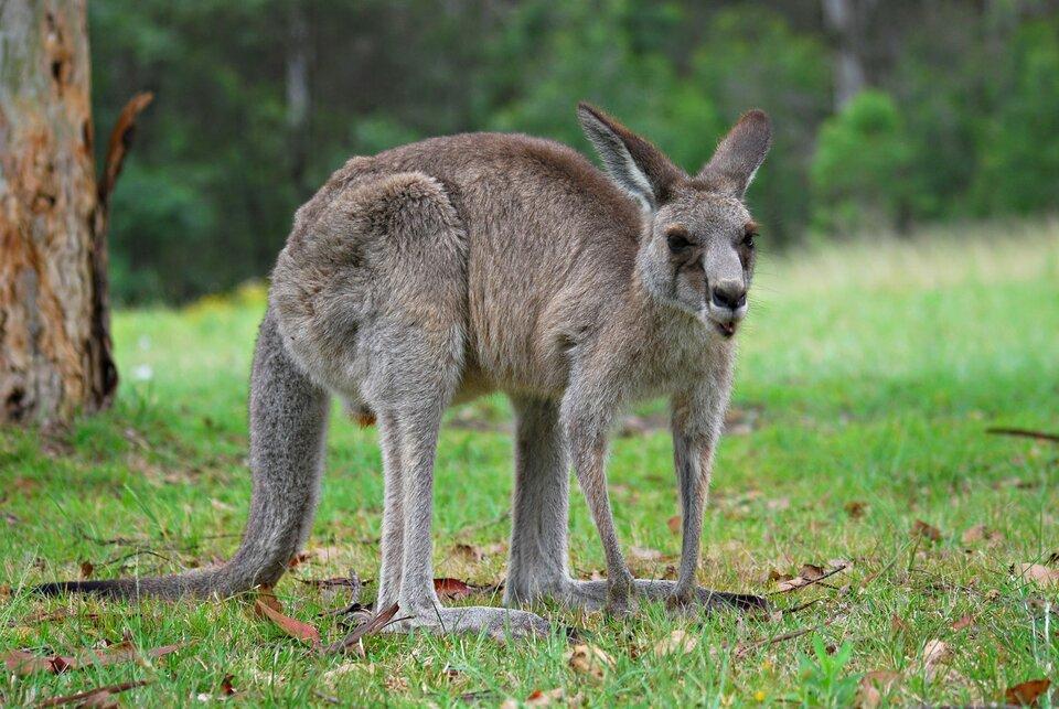 Na zdjęciu kangur na trawie.
