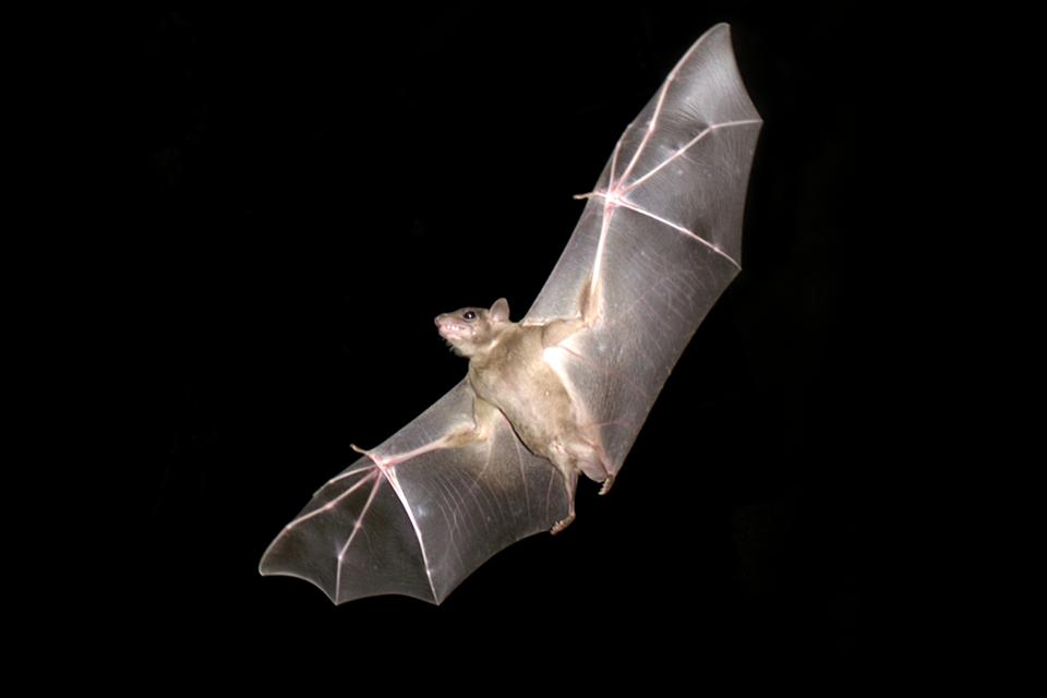 Seria zdjęć obrazująca wyjątkowe zmysły zwierzat. Zdjęcie przedstawia lecącego nietoperza.