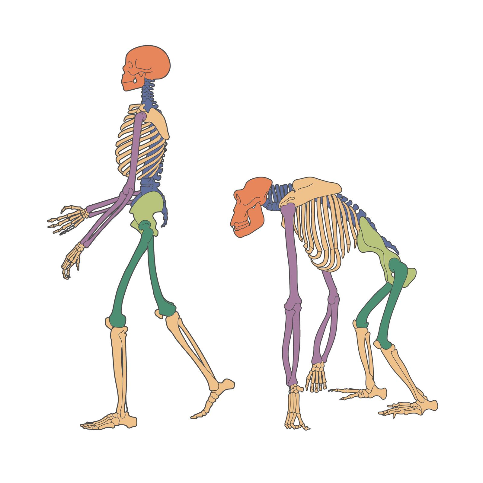 Ilustracja przedstawia szkielety człowieka igoryla. Szkielet człowieka jest wyprostowany idelikatny, goryla masywny ipochylony.