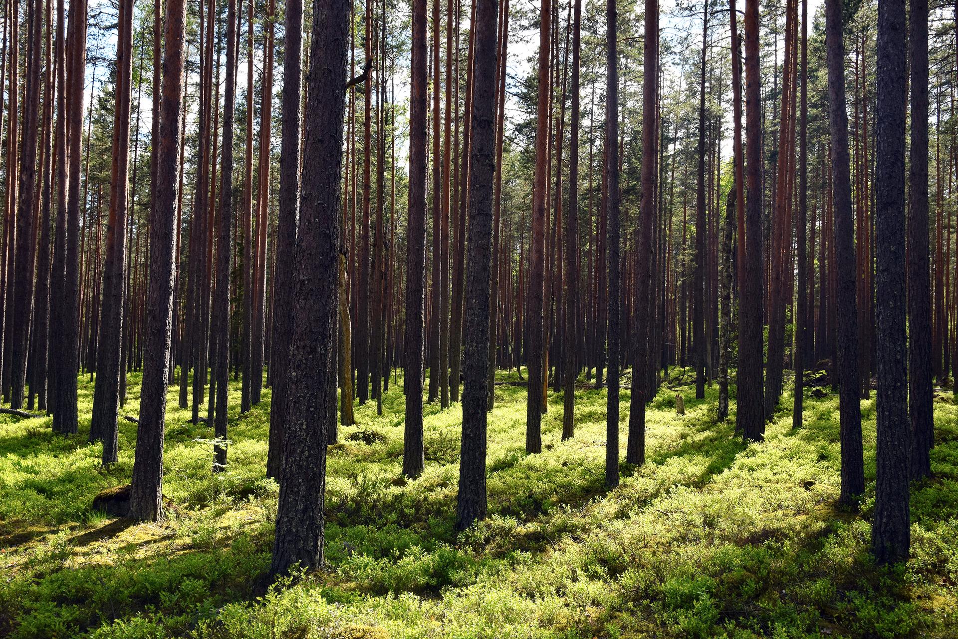 Młody las sosnowy bez piętra podszytu iledwo widocznym runem