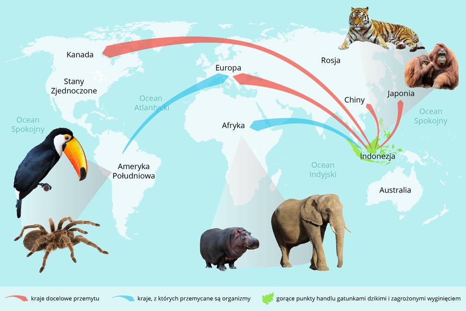 Ilustracja przedstawia mapę świata na błękitnym tle. Na obrzeżach znajdują się wizerunki zagrożonych gatunków. Strzałki wskazują drogi przemytu zwierząt. Kolorem zielonym oznaczono gorące punkty handlu gatunkami dzikimi izagrożonymi wyginięciem.