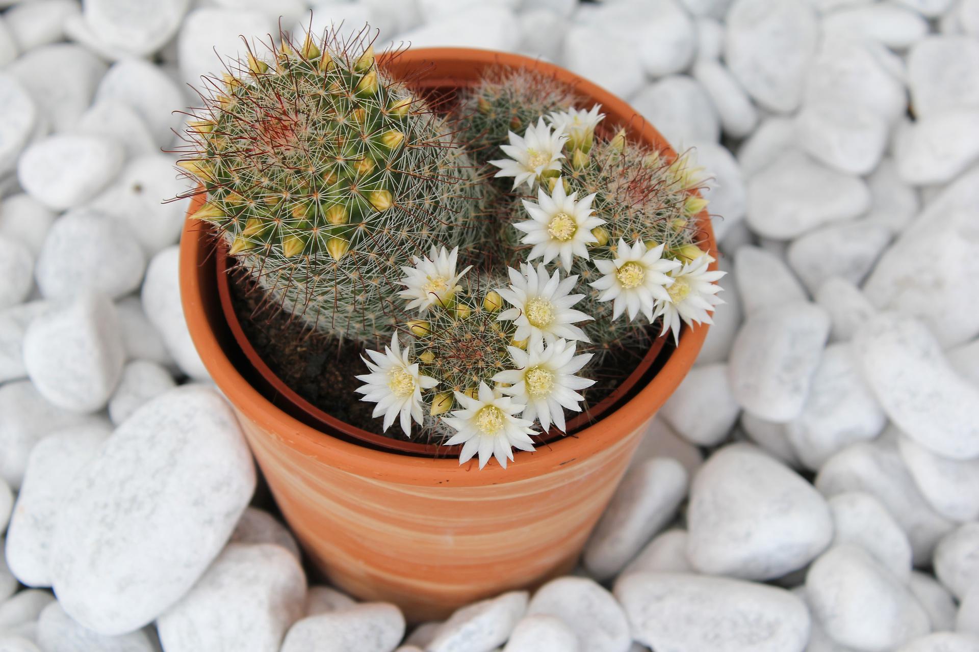 Fotografia prezentuje kwitnącego na biało kaktusa wdoniczce.