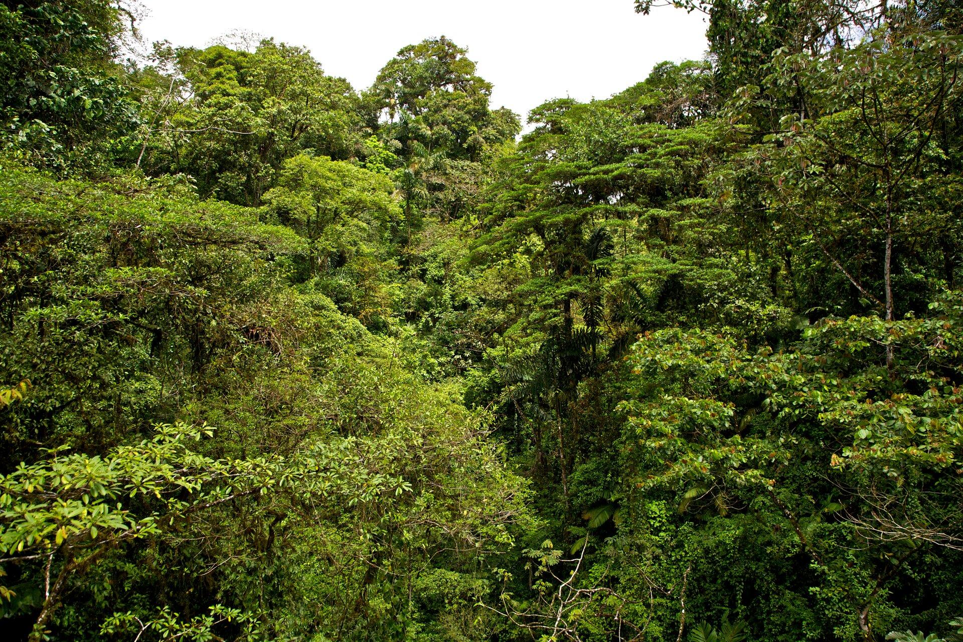 Korony drzew liściastych. Drzewa rosną bardzo gęsto. Tworzą piętrowy układ. Widoczne pnącza.