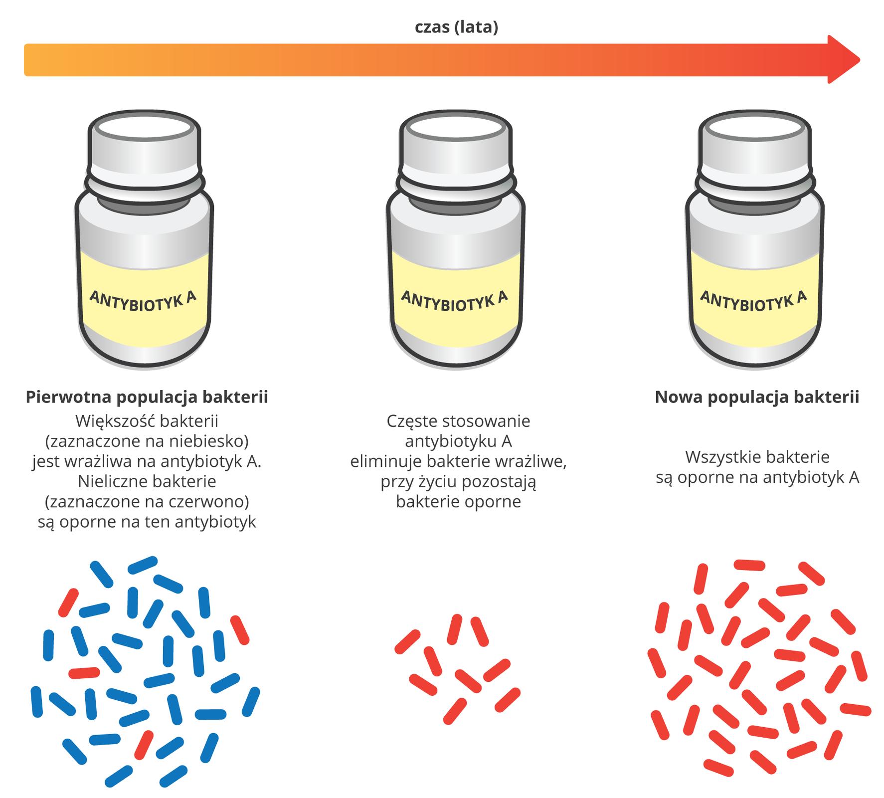 Ilustracja przedstawia schematycznie ugóry trzy buteleczki , podpisane antybiotyk A. Nad nimi wprawo czerwona strzałka czasu, oznaczająca lata. Udołu znajdują się niebieskie iczerwone pałeczki, symbolizujące bakterie. Od lewej jest to pierwotna populacja zróżnicowanych bakterii. Liczne niebieskie są wrażliwe na antybiotyk A, czerwone są oporne. Wśrodku ukazano sytuację po częstym stosowaniu antybiotyku: bakterie niebieskie zniknęły, zostały tylko nieliczne czerwone. Po latach populacja bakterii składa się wyłącznie zopornych, czerwonych pałeczek.