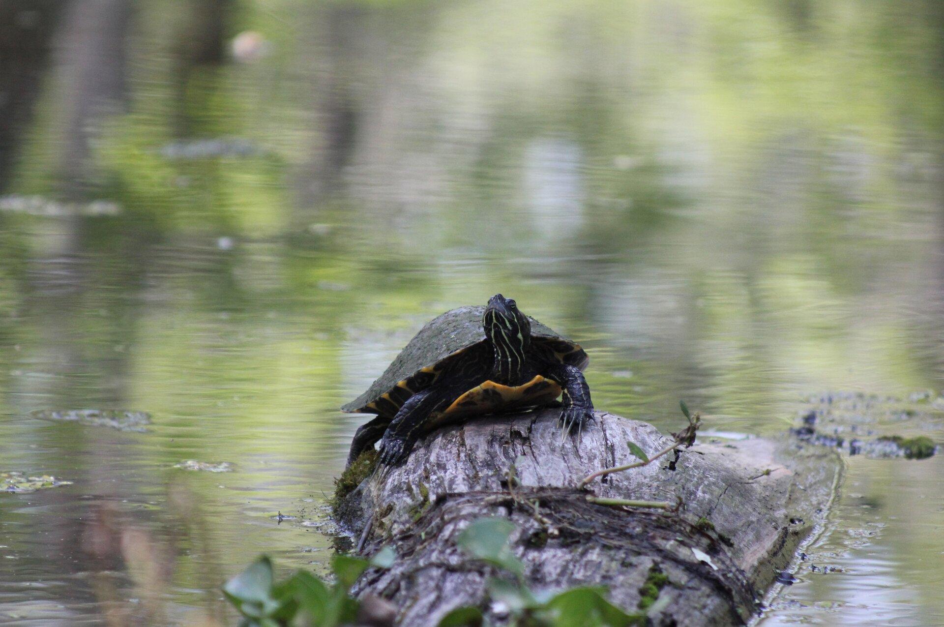 Żółw na kamieniu Źródło: licencja: CC 0.