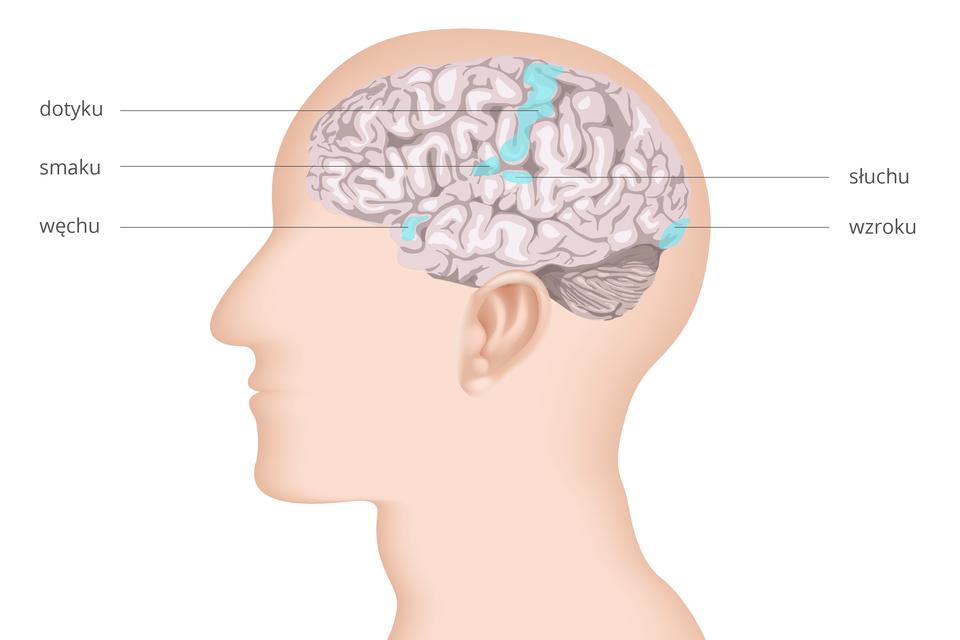 Ilustracja przedstawia sylwetkę głowy profilem zwrysowanym mózgowiem. Na zwojach kory błękitem zaznaczono ośrodki zmysłów. Wpłacie skroniowym ośrodki: węchu, smaku isłuchu. Wpłacie potylicznym ośrodek wzroku. Przez środek kory mózgowej ukosem duży ośrodek dotyku.